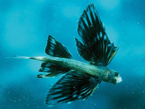 ปลาบินได้จริงหรือ