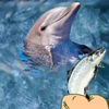 Hungry Dolphin Game