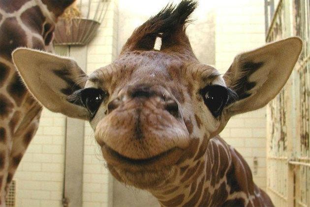 Giraffe Challenge ที่มาของการเปลี่ยนหน้า FB เป็นยีราฟ