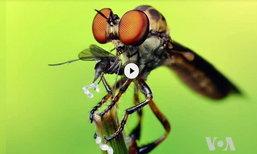 นักวิจัยไขปริศนาพัฒนา 'โดรน' เลียนแบบโครงสร้างดวงตา 'เเมลงวันหัวบุบ'