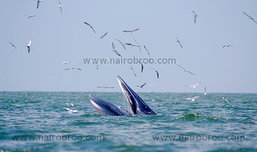 ออกล่า (ภาพ) วาฬบรูด้าที่แหลมผักเบี้ย