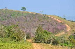 ดอกนางพญาเสือโคร่ง หรือ ดอกซากุระเมืองไทย ที่ภูลมโล