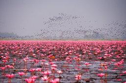 หลับตาฟังเสียงหัวใจ... ในทะเลสีชมพู – ทะเลบัวแดง