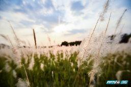 งดงาม..บานสะพรั่ง 'ทุ่งดอกหญ้าสีขาว' ริมถนนเกษตร-นวมินทร์