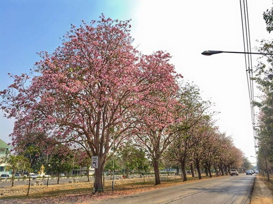ชมพูสะพรั่ง! ถนนสายดอกไม้ 'ชมพูพันธุ์ทิพย์'  ม.เกษตร (กำแพงแสน)