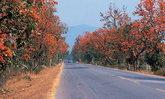 ถนนดอกไม้ ทองกวาวบาน ตระการตา จ.พะเยา