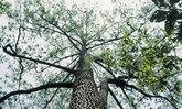 ทำไมต้นสน จึงเป็นต้นไม้ผู้สร้างป่า