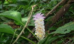 """ชม """"ทุ่งดอกกระเจียวยักษ์"""" ความงามที่ซ่อนอยู่ ในป่าชุมชน"""