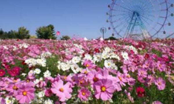เทศกาลดอกไม้บานเมืองซากะ