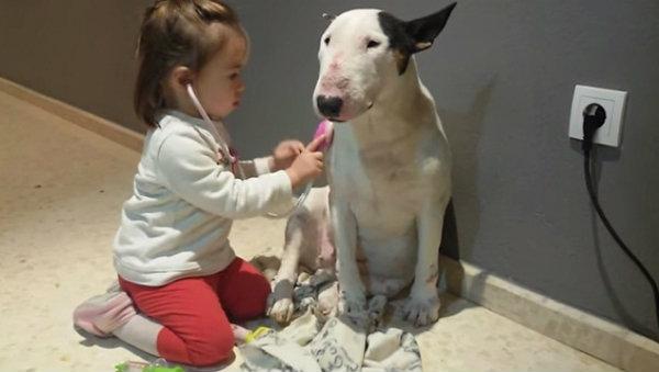 น้องหมาพันธุ์บูลล์เทอเรีย สวมบทคนไข้ให้คุณหมอจิ๋วตรวจ