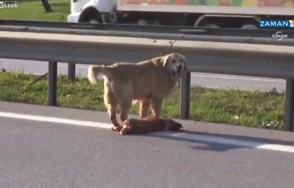 ซึ้ง! เจ้าหมาพยายามช่วยเพื่อนที่ถูกรถชน กลางถนน