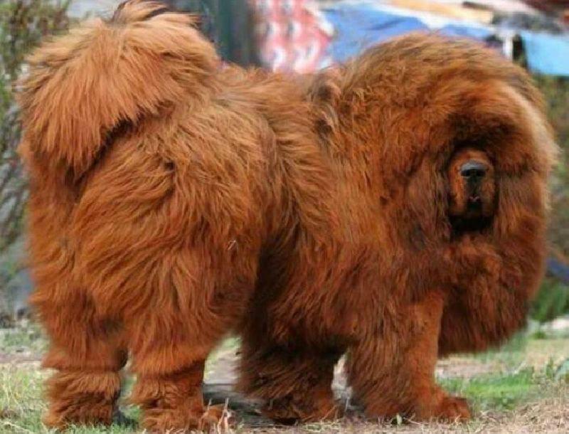 คอเคเซียนเชพเพิร์ด นี่หมา หรือหมี