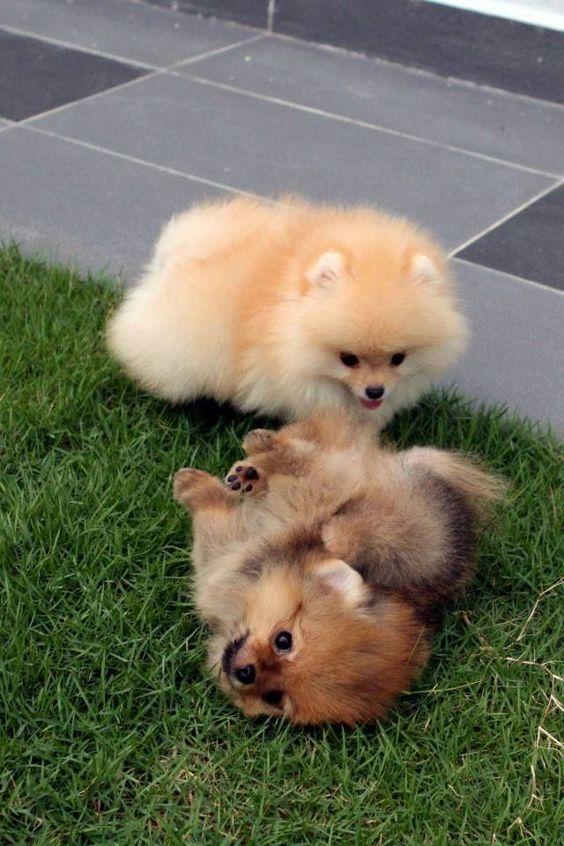 10 สุนัขพันธุ์เล็ก สุดน่ารัก ที่คนนิยมเลี้ยง